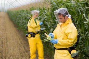 Researchers with Genetically Modified Corn --- Image by © Wolfgang Flamisch/Corbis
